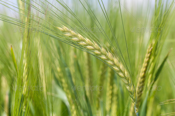 Wheat - Stock Photo - Images