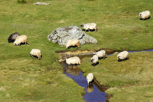 Sheep on a mountain river - Stock Photo - Images
