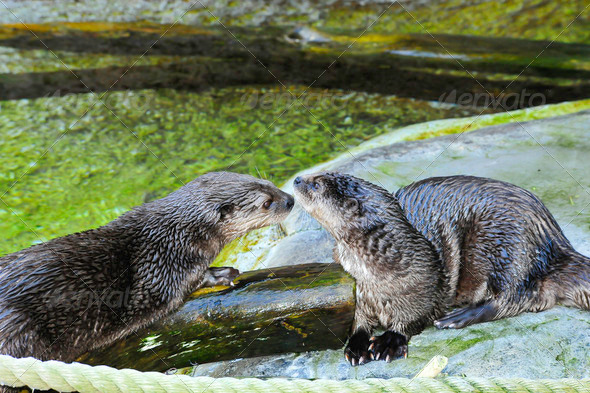 African Spot Necked Otter - Stock Photo - Images