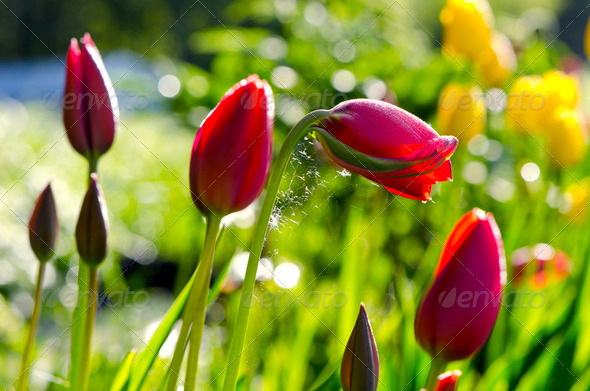 spring tulips and morning sunlight - Stock Photo - Images