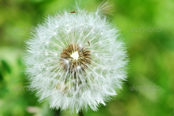 Closeup of dandelion on a blurred background - Stock Photo - Images