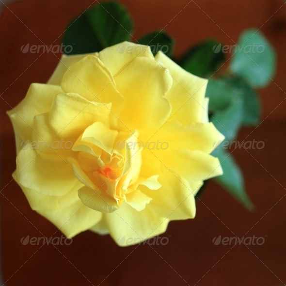 Yellow Rose Top View - Stock Photo - Images