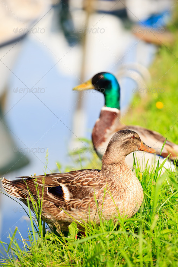 Ducks - Stock Photo - Images