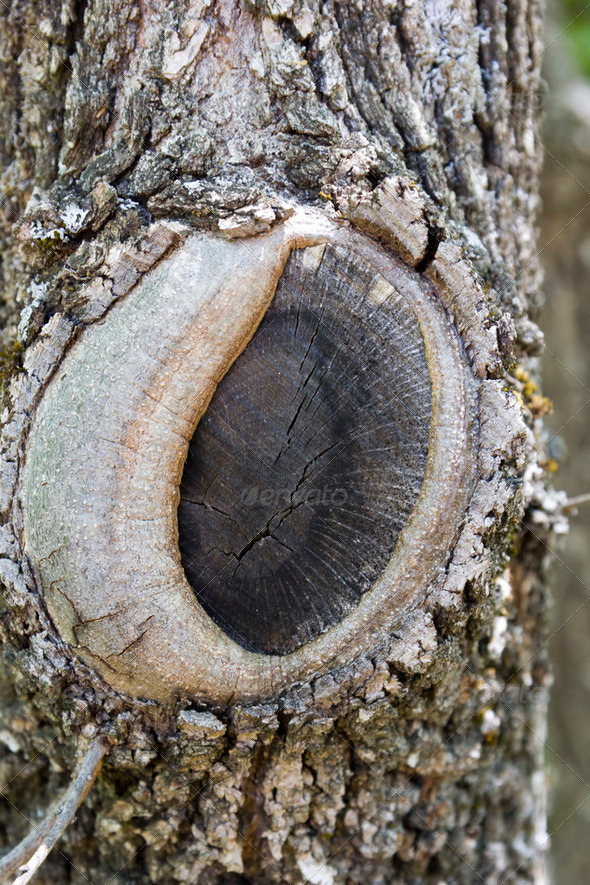 Texture of a tree trunk with a big knot - Stock Photo - Images