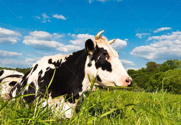 cow grazes - Stock Photo - Images