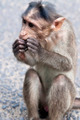 Rhesus Macaque - Macaca mulatta - PhotoDune Item for Sale