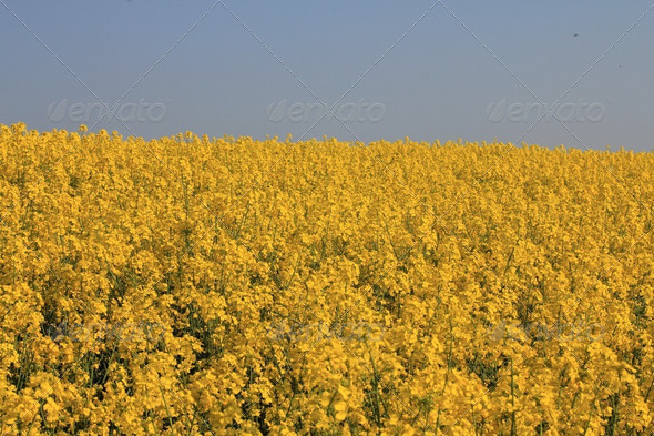Contrasting Yellow Rapeseed and Blue Sky - Stock Photo - Images