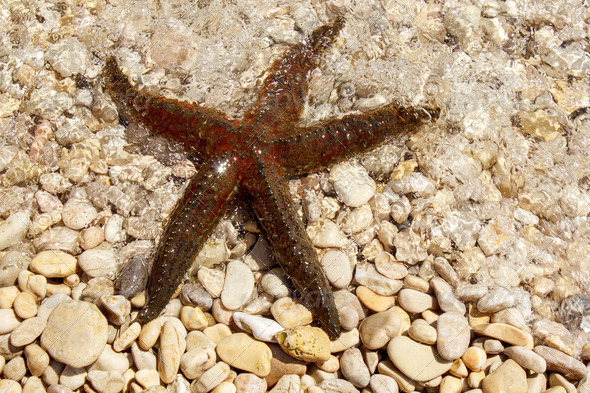 brown sea star sitting on pebbles beach - Stock Photo - Images