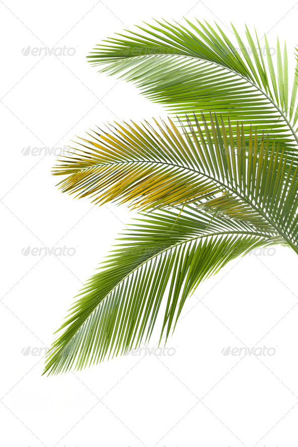 Leaves of palm tree - Stock Photo - Images