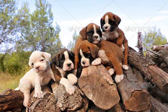 puppies boxer - Stock Photo - Images