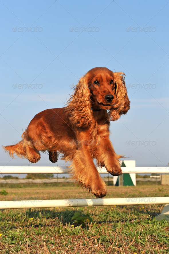 cocker spaniel in agility - Stock Photo - Images
