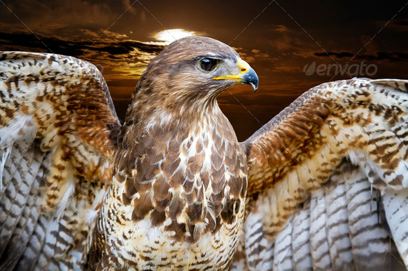 Common Buzzard. Buteo buteo - Stock Photo - Images