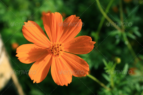 Mexican Aster Flower - Stock Photo - Images