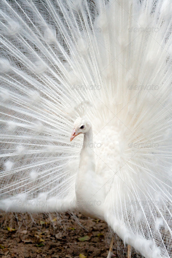 White peacock - Stock Photo - Images
