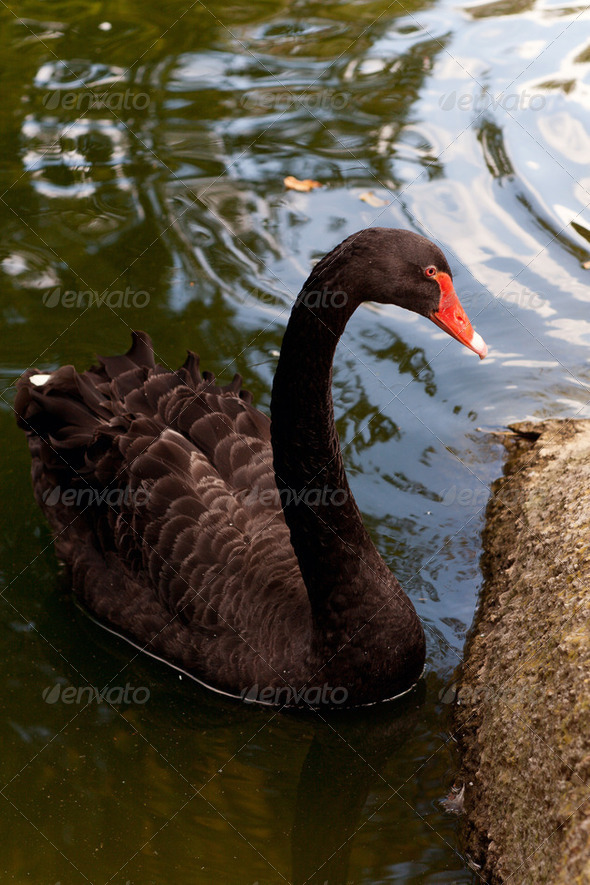 Black swan - Stock Photo - Images