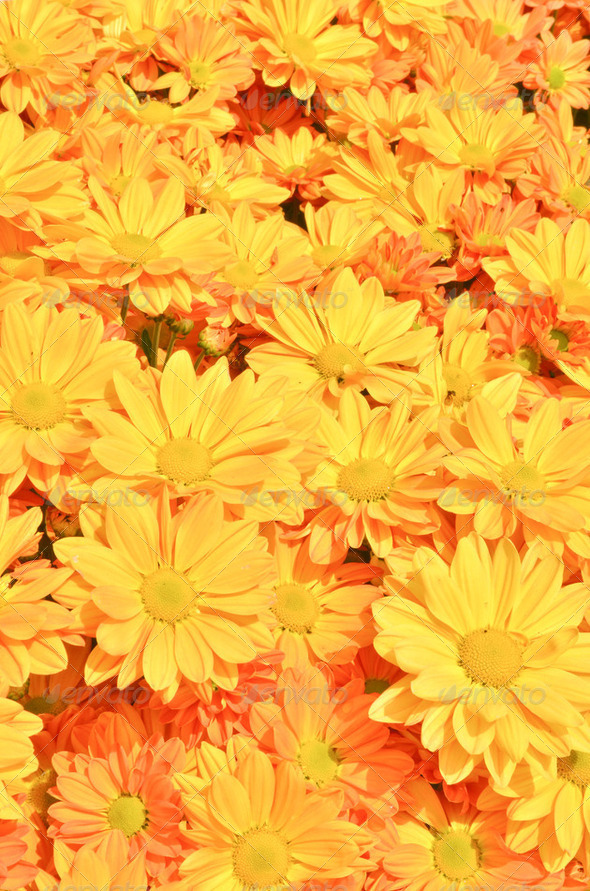 Yellow Chrysanthemum flowers background - Stock Photo - Images