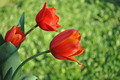 3 red tulips - PhotoDune Item for Sale