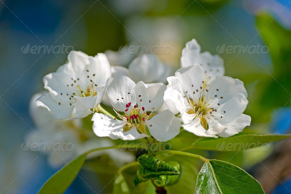 Blossoming branch of a pear tree - Stock Photo - Images