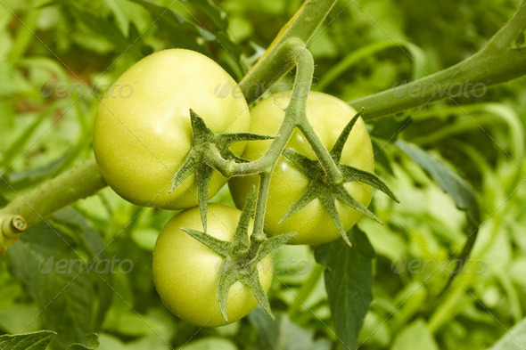 Green tomatoes in greenhouse - Stock Photo - Images