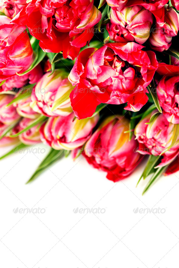 Pink tulips - Stock Photo - Images
