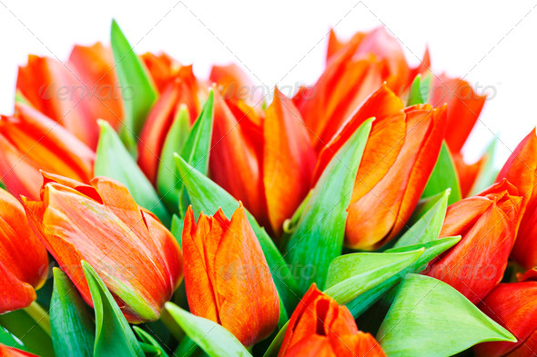 red tulips - Stock Photo - Images