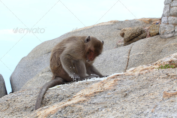 Crab-eating macaque monkey of southeast asia sitting on rock 4 - Stock Photo - Images