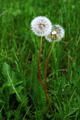 Love Dandelions - PhotoDune Item for Sale