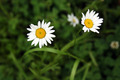 Daisies in the Grass - PhotoDune Item for Sale