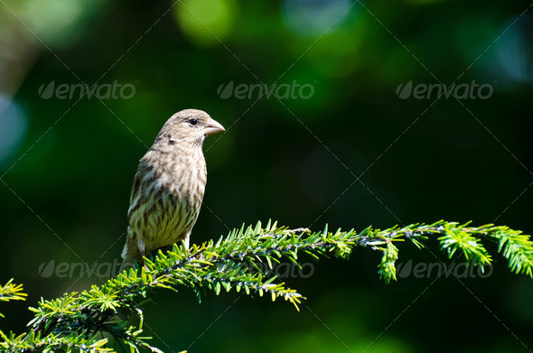 House Finch Perched in an Evergreen Tree - Stock Photo - Images
