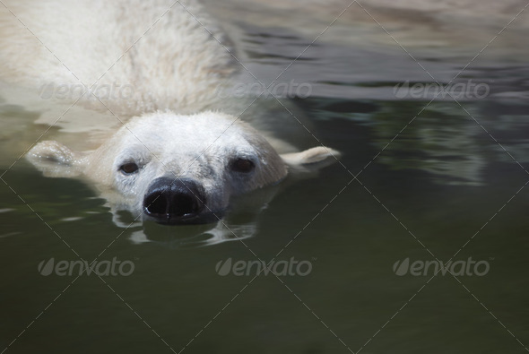 Polar Bear - Stock Photo - Images