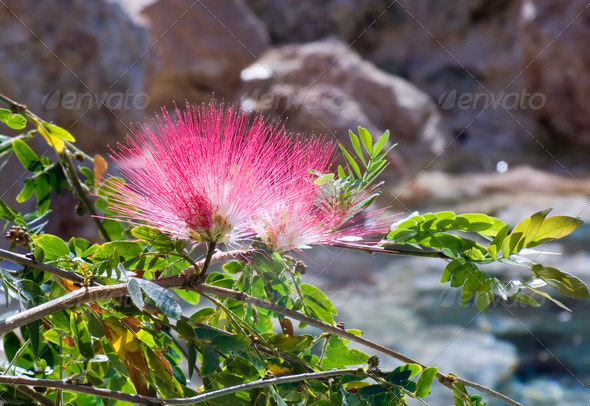 pink fluffy flowers over a mountain stream - Stock Photo - Images