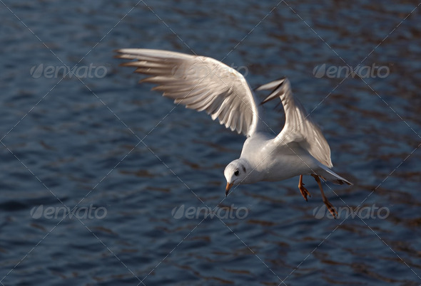 flying gull - Stock Photo - Images