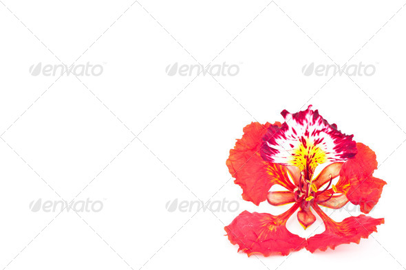 Flamboyant flower isolated. - Stock Photo - Images