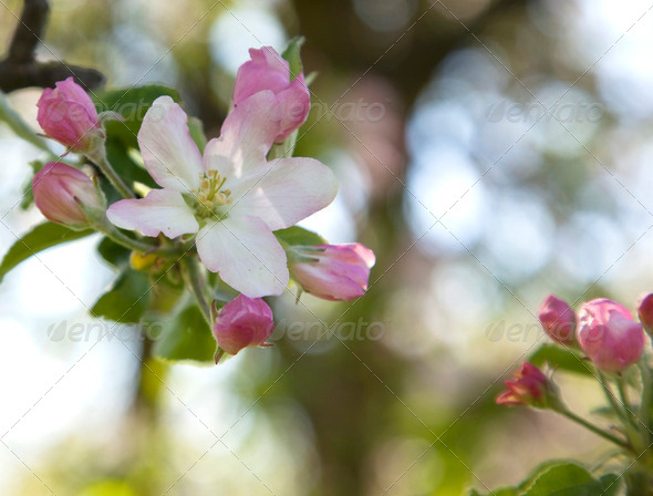 Apple tree blossom - Stock Photo - Images