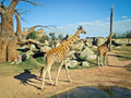Giraffes - PhotoDune Item for Sale