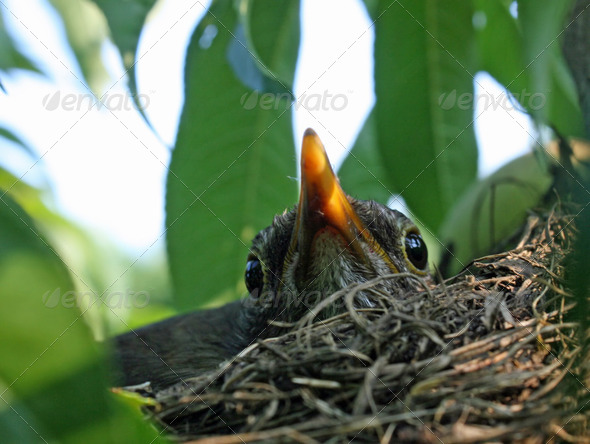 beak and eyes of a blackbird that lurks within the nest on the b - Stock Photo - Images