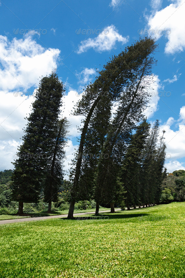 Crooked Cook Pines (Araucaria columnaris) - Stock Photo - Images