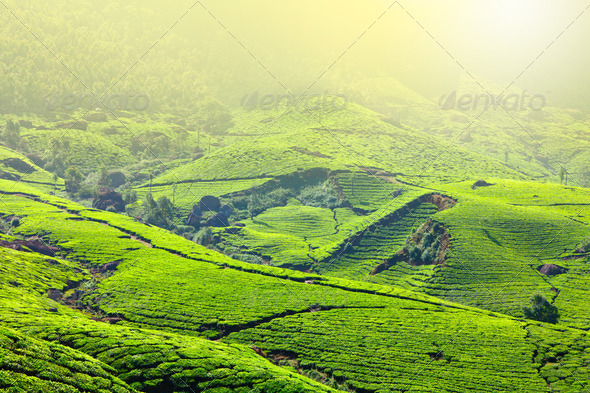 Tea plantations - Stock Photo - Images