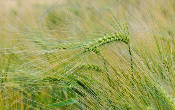 barley - Stock Photo - Images