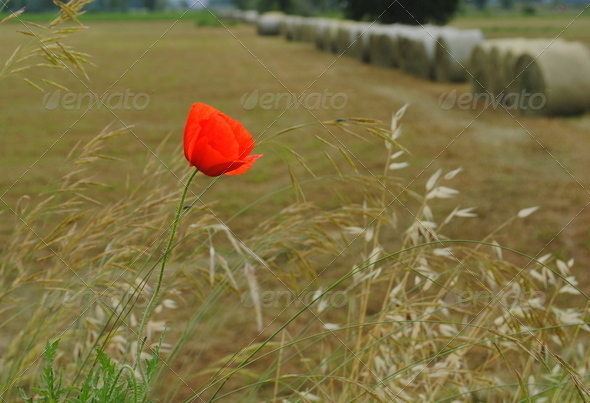 red poppy with farmlands on background - Stock Photo - Images