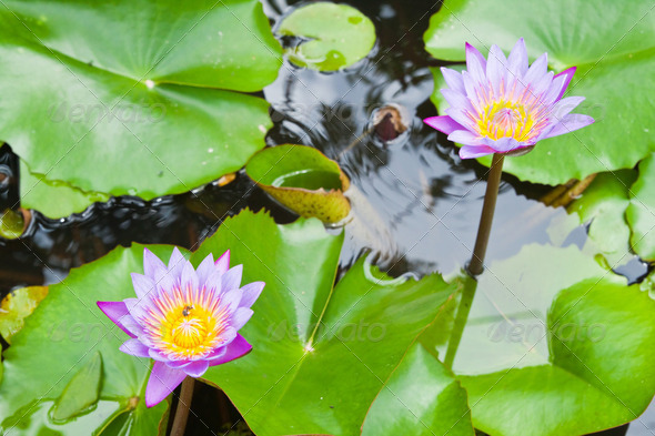 Two purple water lilly on water background with leaves. - Stock Photo - Images