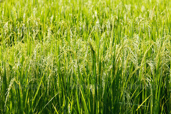 green paddy rice in field. - Stock Photo - Images