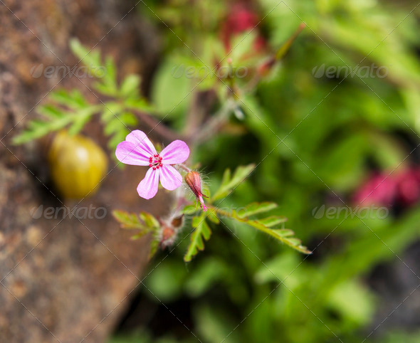 Small Pink Wild Flower - Stock Photo - Images