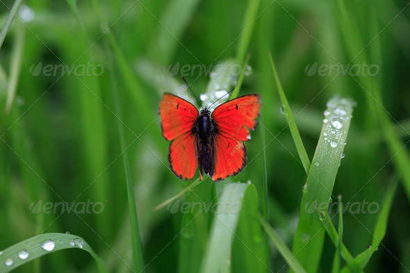 Butterfly And Dew - Stock Photo - Images