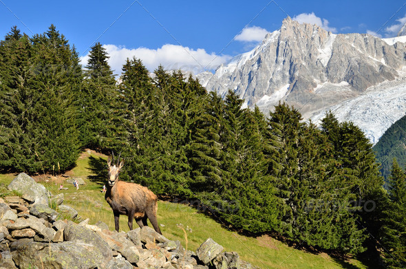 Chamois in Chamonix, France - Stock Photo - Images