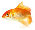 gold fish isolated on white - PhotoDune Item for Sale