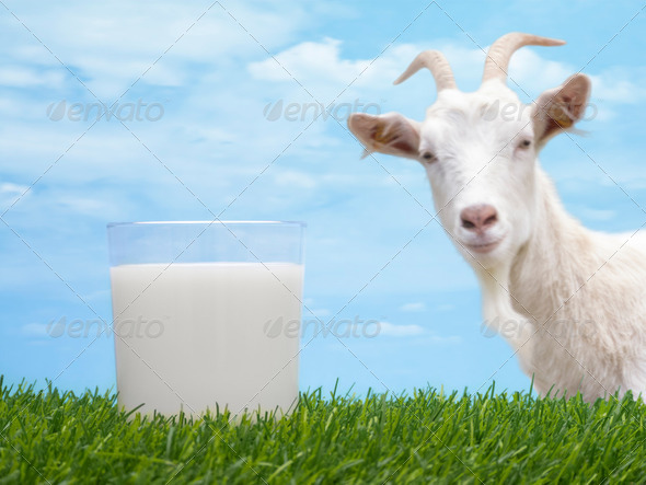 Goat Milk - Stock Photo - Images
