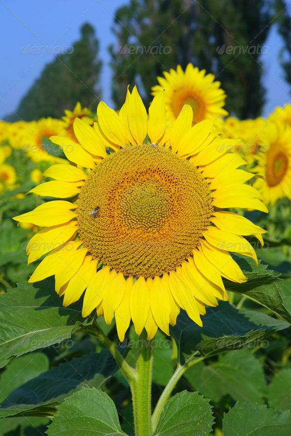 Sunflower with bee against green field - Stock Photo - Images