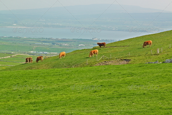 Cows grazing on a green summer meadow - Stock Photo - Images