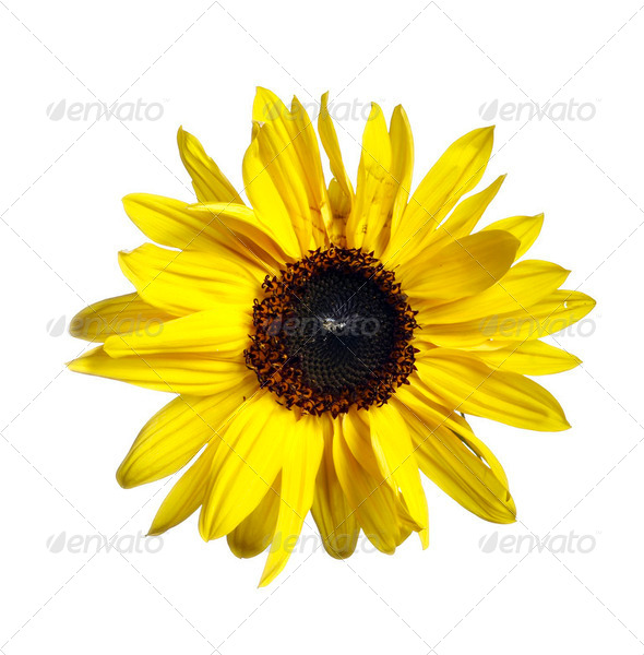 bloom of the sunflower - Stock Photo - Images